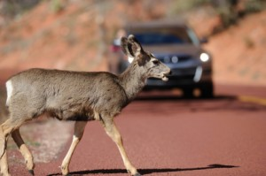Avoiding a collision with a deer